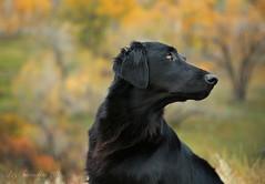 Keep Your Eye on the Bird (Blazingstar) Tags: larkin dog fall gundog geese eye flatcoated retriever alberta