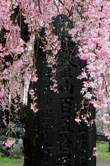 Narita Sakura (Toni Kaarttinen) Tags: japan  japonia    jap japonsko jaapan  japani japon xapn    japn jepang an tseapin giappone  japna japonija  japo  japonska japn hapon  japonya nht bn japanese narita naritacity naritatown hanami sakura cherry cherryblossoms cherryblossom