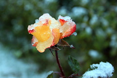 Tli rzsa - Winter rose (veitJ) Tags: winter snow rose h tl rzsa