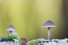 Paddenstoelen [Explore] (**Roel**) Tags: macro herfst thenetherlands natuur paddenstoel bos kleuren nld