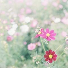 *cosmos (fangchun15) Tags: flower 120 6x6 film japan tokyo kodak bronica s2 昭和記念公園 portra400 bronicas2