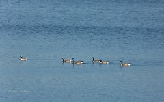 Some grey and blue (joeke pieters) Tags: germany deutschland geese goose gans ganzen canadagoose brantacanadensis duitsland haltern canadesegans hullernerstausee panasonicdmcfz150 1020963