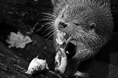 European Otter (Macke827) Tags: wet animal wasser away otter d3 tier weg pforzheim nass wildpark lutra schweimmen