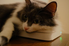 she, like, loves this router (ry3bee) Tags: apple canon whiskers wifi router airportextreme norwegianforestcat skogkatt efm eosm