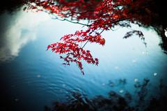 Japanese Autumn (moaan) Tags: life leica autumn color water digital 50mm pond glow dof bokeh surface f10 momiji japanesemaple utata glowing noctilux tinted 2012 m9 tinged colorsofautumn autumnaltints inlife leicanoctilux50mmf10   leicam9 kobemunicipalarboretum