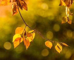 Leaves (Steve-h) Tags: november autumn ireland dublin fall nature leaves 2012 1000faves