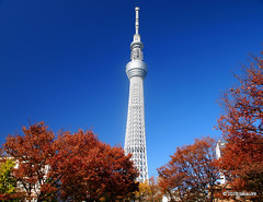 Tokyo Sky Tree and Autumn Leaves (_takau99) Tags: november autumn red sky tree tower fall leaves topv111 japan tokyo leaf asia 2012 takau99 skytree