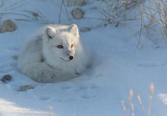 Churchill, Manitoba, Canada Arctic Fox (Vulpes lagopus) (Harry Pherson) Tags: bear red snow canada arctic fox churchill foxes polarbears tundra sparing