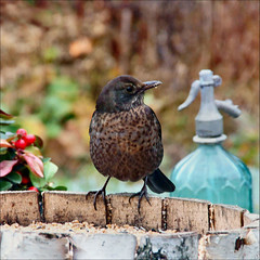 blackbird in the garden (atsjebosma) Tags: november autumn window female garden bokeh ngc herfst thenetherlands npc tuin groningen leek blackbird 1012 merel atsjebosma mygearandme