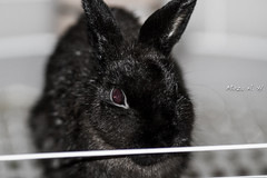 Netherland Dwarf (the.angrycamel) Tags: rabbit usm 135mm netherlanddwarf f2l netherlanddwarfrabbit