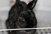 Netherland Dwarf (the.angrycamel) Tags: rabbit usm 135mm netherlanddwarf f2l netherlanddwarfrabbit