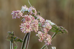 Late_1283 (WendyCoops224) Tags: pink flowers autumn white canon eos head late studies frosted hogweed compositae 600d autumnwatch 100400mml