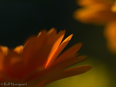Orange meets Calendula (flickrolf) Tags: orange dof calendula ringelblumen 2012blumen 2012blumenringelblumen