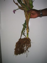 striga attached to root1