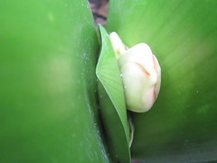Flower Bud (shaire productions) Tags: plants white plant green nature floral photography photo natural image grow scene growth photograph vegetation bud budding imagery