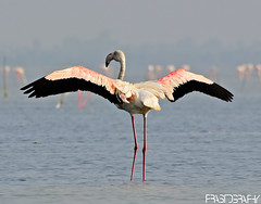 Greater Flamingo (Phoenicopterus roseus) (prasanth2406) Tags: india color nature water birds photography nikon colorfull wildlife indian flamingo national catch greater nikkor dslr chennai greaterflamingo phoenicopterusroseus nationalgeographic prasanth phoenicopterus roseus nikondslr indianbirds nikon70300 chennaibirds prastography prasanthphotos