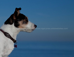 The Look Out - Explored 22 November 2012 (Nigel Jones LRPS) Tags: blue dog pet animal closeup jack russell head russel canine headshot terrier doggy shoulders breed jackrussellterrier alert shorthaired pedigree purebred alertness