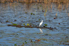 Snowy egret (vacationer1901) Tags: florida alligator greatblueheron whiteibis greategret snowyegret tricoloredheron anhinga shorebirds stmarksnationalwildliferefuge commonmoorhen redheadduck queenbutterfly glossyibiswoodstork