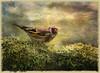 Goldfinch (Sh4un65_Artistry) Tags: texture birds goldfinch topaz texturedbackground mossylog welshwildlife topazadjust topazdenoise artistictreasurechest sonya580 lenabemanna