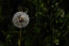 Make a wish... (eserehtM) Tags: flower clock seed dandelion makeawish weedsarenotnecessarilybad