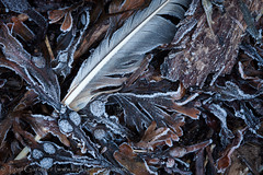 Frosted feathers and seaweed (tomgardner) Tags: sea plants plant seaweed beach coast flora frost debris feather naturalhistory coastal environment frosted seacliffs