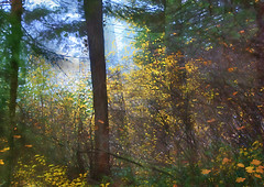 Last of the Leaves (h_roach) Tags: autumn trees light fall horizontal fog forest explore pacificnorthwest washingtonstate