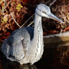 J77A0933 -- Blue Heron in the water (Nils Axel Braathen -- Thanks a lot for +200K views) Tags: france heron nature birds wildlife blueheron soe fugler oiseaux levsinet hegre vogeln mygearandme rememberthatmomentlevel1