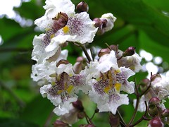 Catalpa x erubescens Carrière 1869 (BIGNONIACEAE) (helicongus) Tags: spain hybrid catalpa bignoniaceae catalpaxerubescens jardínbotánicodeiturraran