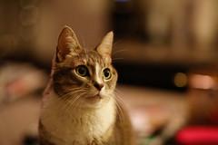 Kiki on Counter (What About Minnie) Tags: cats cat kitties kiki ef85mmf18 canon5dmkiii canon5dmk3 eos5dmarkiii
