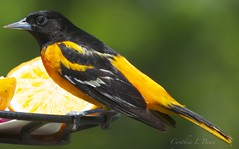 Male Oriole (Cindy Cupcake Photography) Tags: camera wild portrait orange usa macro bird art love nature beautiful beauty wow geotagged photography fly flying photo amazing cool nice interesting wings nikon friend midwest perfect flickr pretty image feeding sweet pics eating good live wildlife gorgeous tag awesome birding flight beak feathers may picture feather like indiana pic tags clear eat vision stunning excellent iphoto neat lovely dslr capture tagging epic brilliant impressive comment 2012 unbelievable iphone picoftheday oriole captivating maleoriole iphoneography