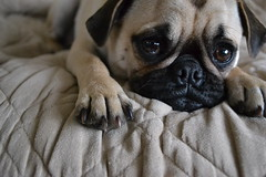 dog puppy pug couch