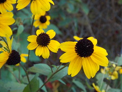 Black Eyed Susan (*Abstrax) Tags: autumn black flower fall daisies flora october susan eyed rudbeckia autunno asteraceae hirta browneyedsusan gloriosadaisy brownbetty browndaisyrudbeckiatriloba