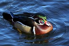 J77A1212 -- Mandarin Duck in some circles (Nils Axel Braathen) Tags: france nature birds duck wildlife mandarinduck canard fugler oiseaux ender aixgalericulata levsinet canardmandarin vogeln rememberthatmomentlevel1
