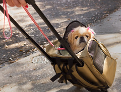 princess (doddsjzi) Tags: dog pets photo sidewalk smalldog charlestonsc bows carrier pinkbows tanandwhitedog bowsinhair ridinginwheeledcarrier