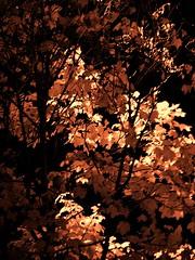 Autumnal Amber (L.Safont) Tags: autumn leaves amber olympus foliage 2012 2015 safont lycanmoon vintagedigitalcam lsafont