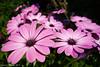 Sea of Pink - Explored! (David S Wilson) Tags: uk flowers england flower ely fens 2012 lightroom flowersplants davidswilson sonyrx100