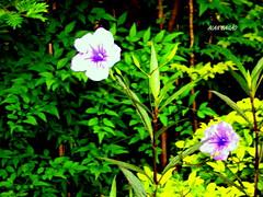 Natureza Singela (Alan Bailo ) Tags: flores verde folhas brasil goinia gois
