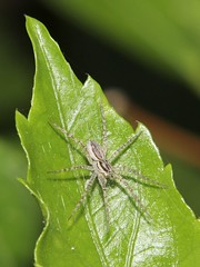 Fishing Spider 5358 (Malcolm NQ) Tags: grey spider queensland townsville fishingspider pisauridae waterspider geo:country=australia arananeomorphae