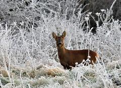 A Roe Deer (Tony Steele,Oxford,UK) Tags: nikond90 frost roedeer burgessfieldnatureparkoxford tonysteelephotography burgessfieldnaturepark