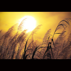 Golden sunset [ EXPLORED ] (-clicking-) Tags: lighting light sunset sky sun sunlight nature grass sunshine silhouette landscape golden evening mood natural eveningsun atmosphere sunny vietnam goldensunset goldenhour sunnyday grassy grassyflowers vietnameselandscape bestcapturesaoi coth5 mygearandme blinkagain bestofblinkwinners vigilantphotographersunite