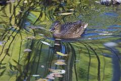 Female mallard duck on pond with reflections and fall leaves. At MK Nature Center in Boise, Idaho. (Idahoeyes) Tags: november fall nikon waterbird idaho shorebird boiseidaho mallardduck wildduck mknaturecenter femalemallard anusplatyrhynchos dabblingduck nikond90 sharonwatson reflectionsonpond idahoeyes