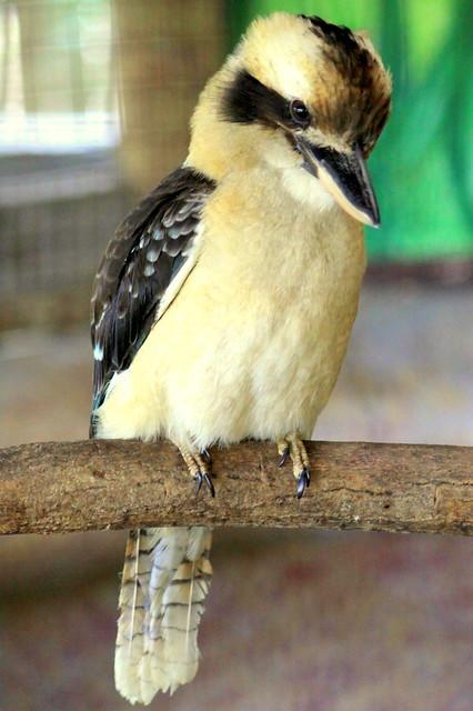 Laughing Kookaburra - Jackson Zoo