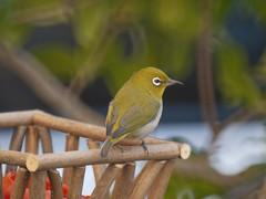 Japanese White-eye (Polotaro) Tags: bird nature pen olympus  ep1      tamronsp500mmf855bb