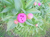 022 (en-ri) Tags: rosa fiore flower sony sonysti fiorellini boccioli blossoms