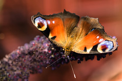 Summertime I (marielledevalk) Tags: red orange macro nature animal butterfly insect