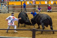 Bull fighting (Hiro_A) Tags: uwajima ehime shikoku japan bull bullfighting nikon d7200 tamron 70300mm 70300