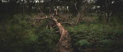 D e m o l i s h e d (tommy kuo) Tags: landscape tree trunk trees bush grass bushland destruction fall forest dead branch nature fern panorama panoramic lysterfield lysterfieldlake lysterfieldpark narrewarren melbourne victoria australia samsung nx1 18mm mirrorless