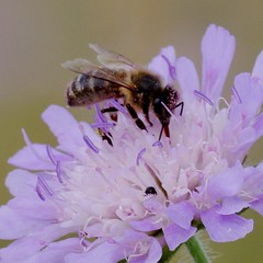 IMGP5422 Bee on Scabious, Devil's Dyke (Reach, Cambs), July 2016 (bobchappell55) Tags: insect bee devilsdyke cambridgeshire grassland scabious