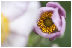 20160723. Japanese anemone. Anemone hupehensis. 4824 (Tiina Gill (busy)) Tags: estonia summer outdoor flora flower plant japanese anemone hupehensis macro closeup