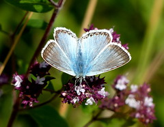 Chalkhill Blue on Wild Majoram (Helen:) Tags: astonrowantnaturereserve